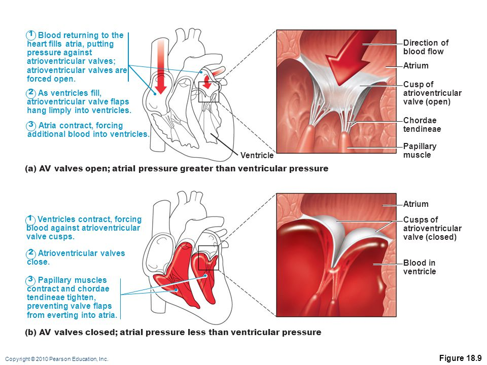 Copyright © 2010 Pearson Education, Inc. Figure 18.9 1 Blood returning to the heart fills atria, putting pressure against atrioventricular valves; atr