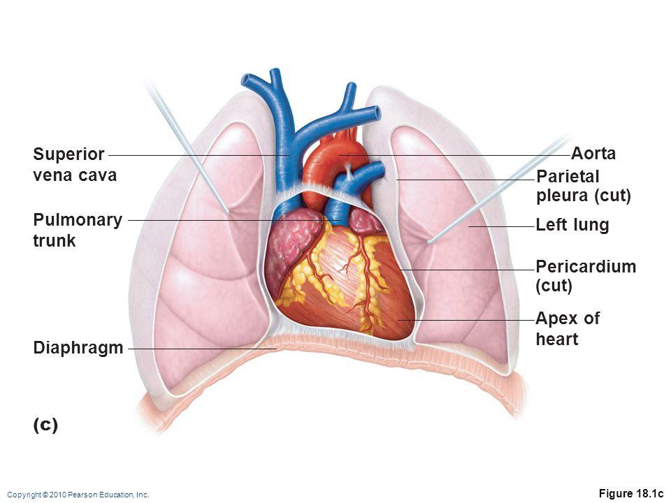 Copyright © 2010 Pearson Education, Inc. Figure 18.1c (c) Superior vena cava Left lung Aorta Parietal pleura (cut) Pericardium (cut) Pulmonary trunk D