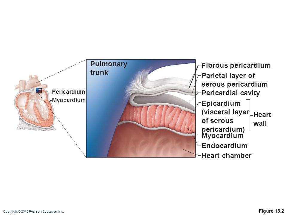 Copyright © 2010 Pearson Education, Inc. Figure 18.2 Fibrous pericardium Parietal layer of serous pericardium Pericardial cavity Epicardium (visceral