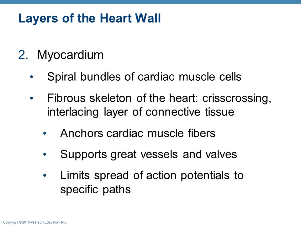 Copyright © 2010 Pearson Education, Inc. Layers of the Heart Wall 2.Myocardium Spiral bundles of cardiac muscle cells Fibrous skeleton of the heart: c