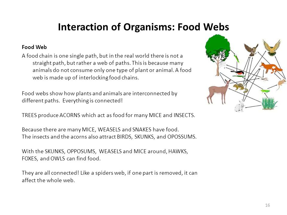 Interaction of Organisms: Food Webs 16 Food Web A food chain is one single path, but in the real world there is not a straight path, but rather a web