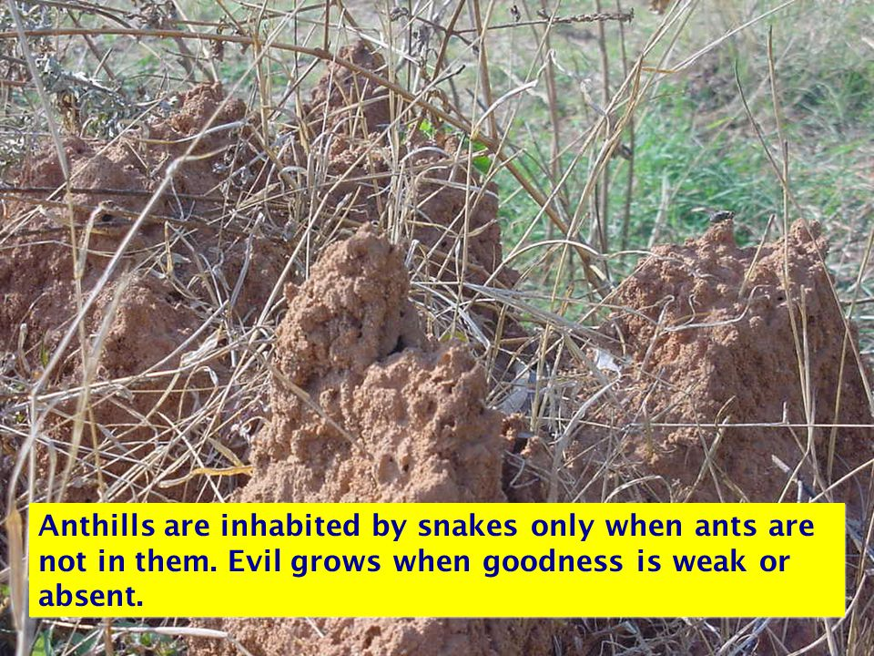 Anthills are inhabited by snakes only when ants are not in them. Evil grows when goodness is weak or absent.