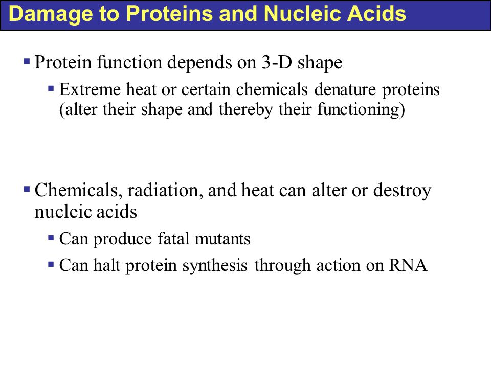 Damage to Proteins and Nucleic Acids  Protein function depends on 3-D shape  Extreme heat or certain chemicals denature proteins (alter their shape and thereby their functioning)  Chemicals, radiation, and heat can alter or destroy nucleic acids  Can produce fatal mutants  Can halt protein synthesis through action on RNA