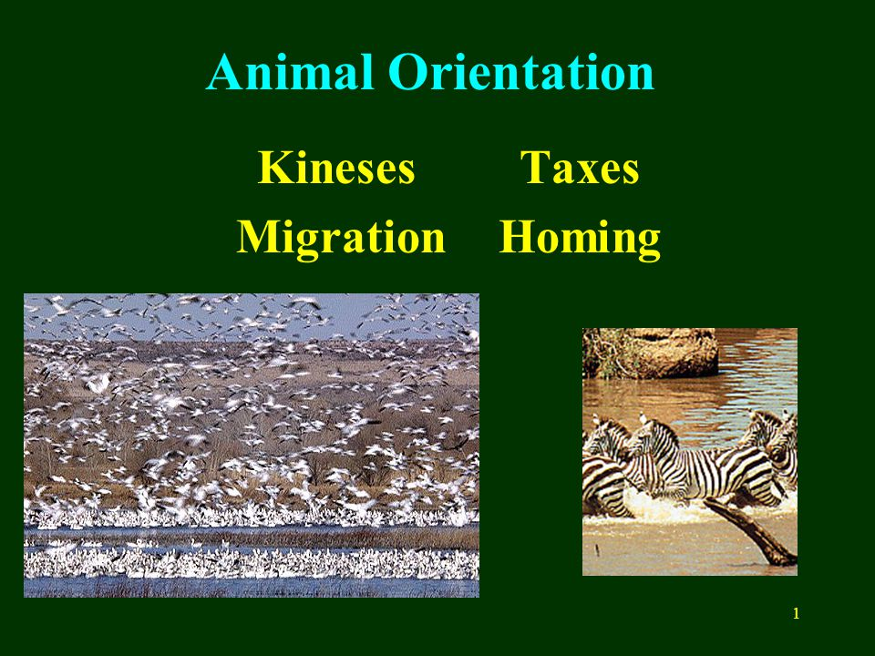 1 Animal Orientation KinesesTaxes MigrationHoming