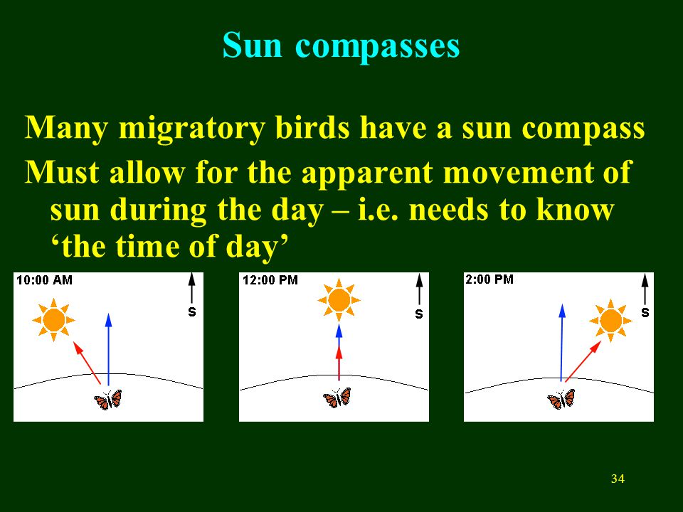 34 Many migratory birds have a sun compass Must allow for the apparent movement of sun during the day – i.e. needs to know 'the time of day' Sun compa
