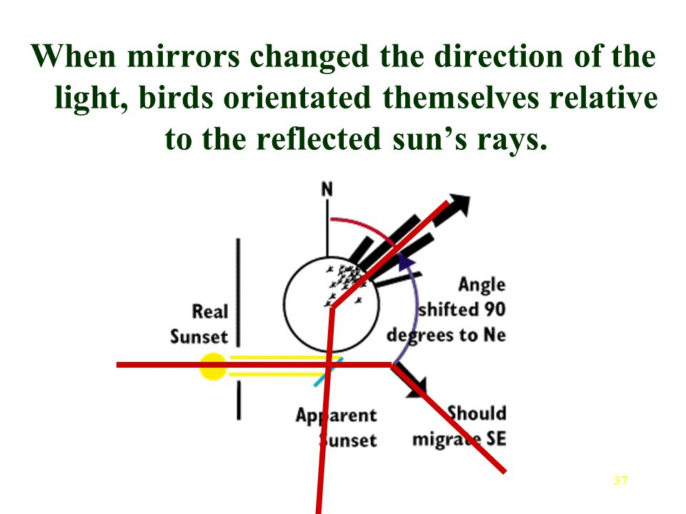 37 When mirrors changed the direction of the light, birds orientated themselves relative to the reflected sun's rays.