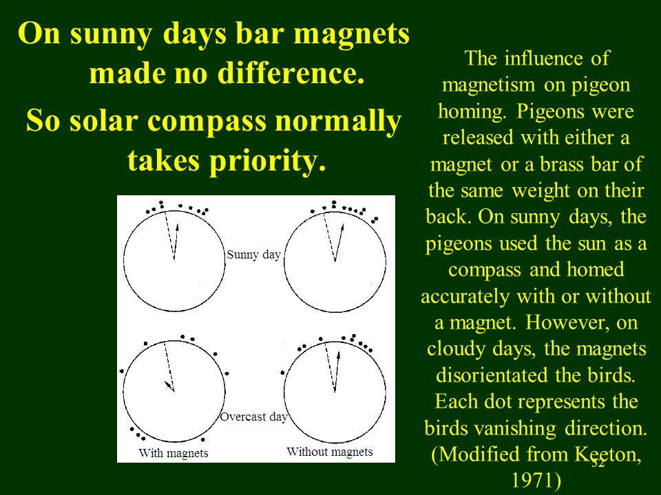 52 On sunny days bar magnets made no difference. So solar compass normally takes priority. The influence of magnetism on pigeon homing. Pigeons were r