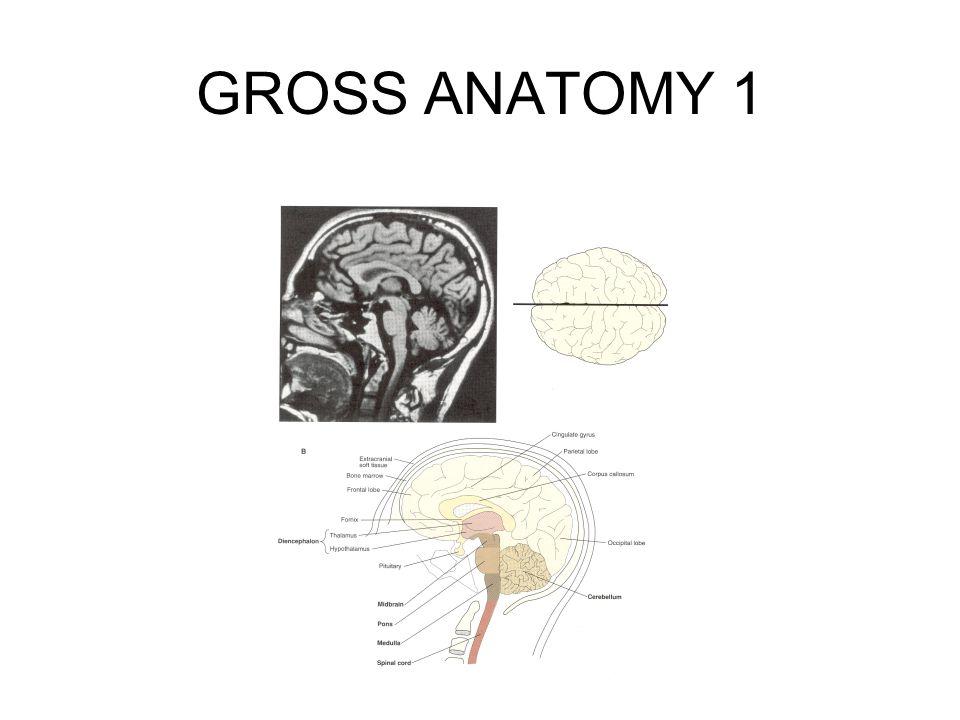 GROSS ANATOMY 1