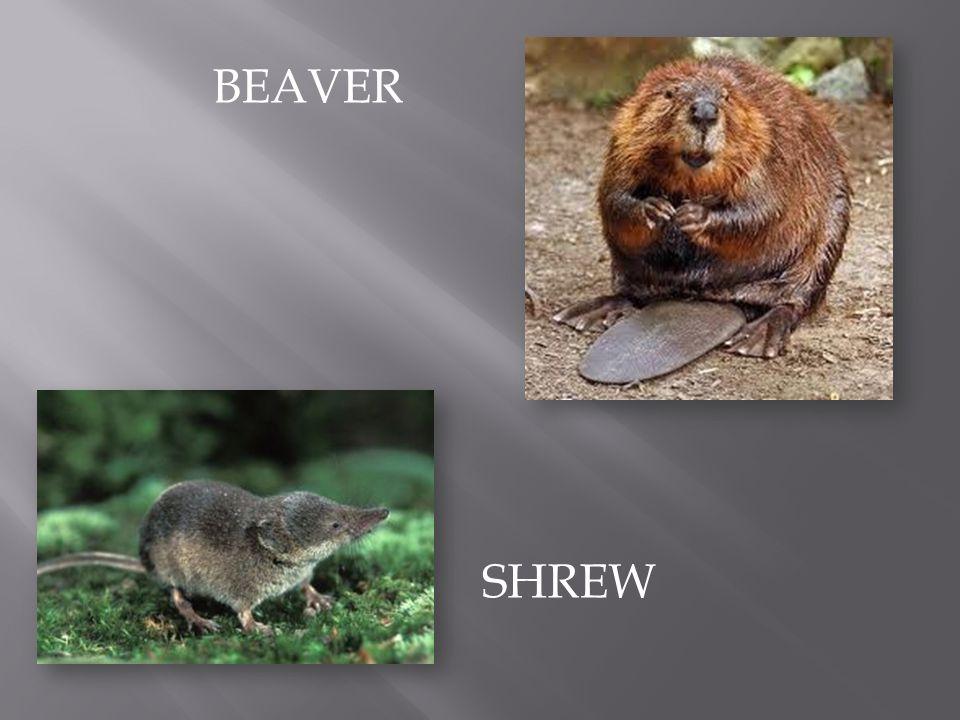 SHREW BEAVER