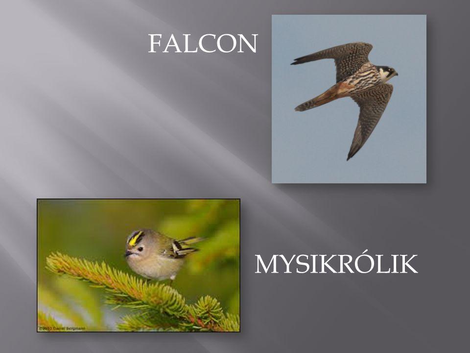 FALCON MYSIKRÓLIK