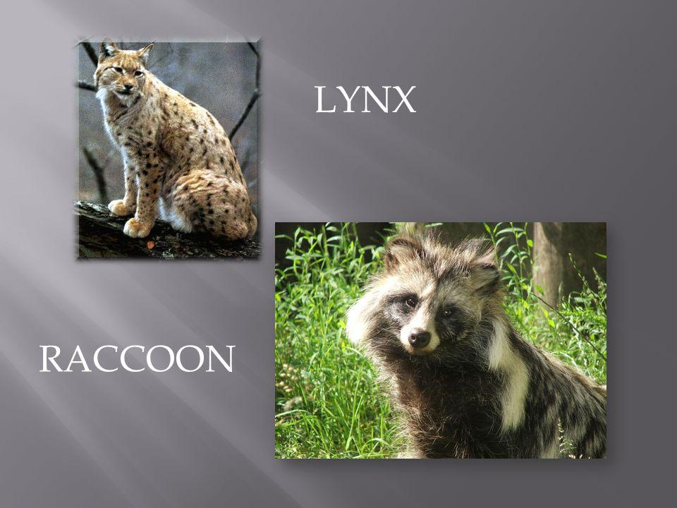 LYNX RACCOON