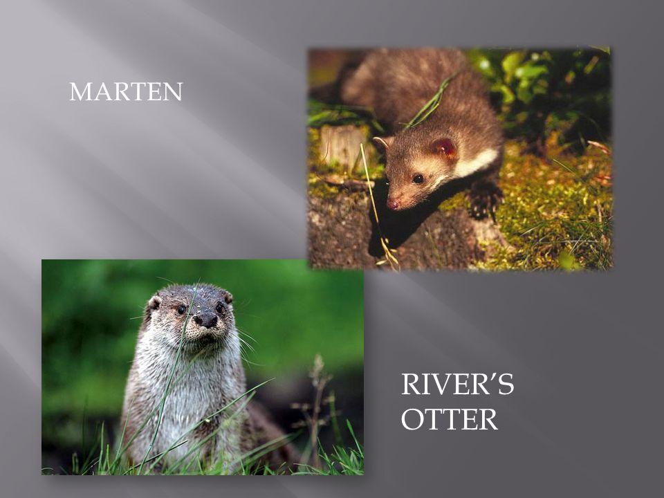 MARTEN RIVER'S OTTER