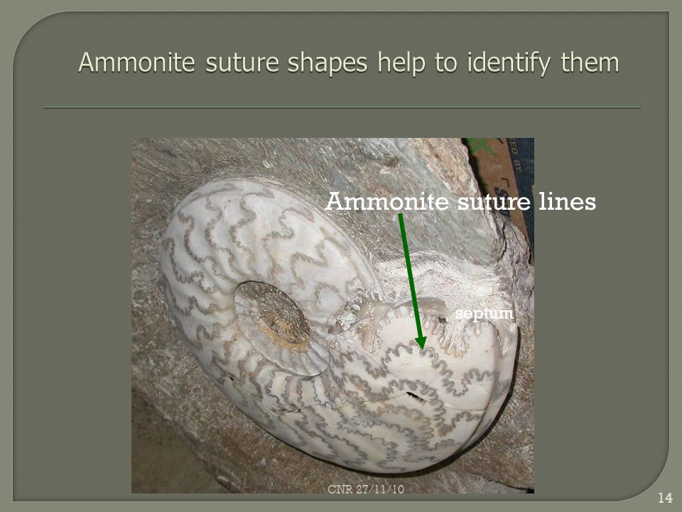Ammonite suture lines septum 14 CNR 27/11/10
