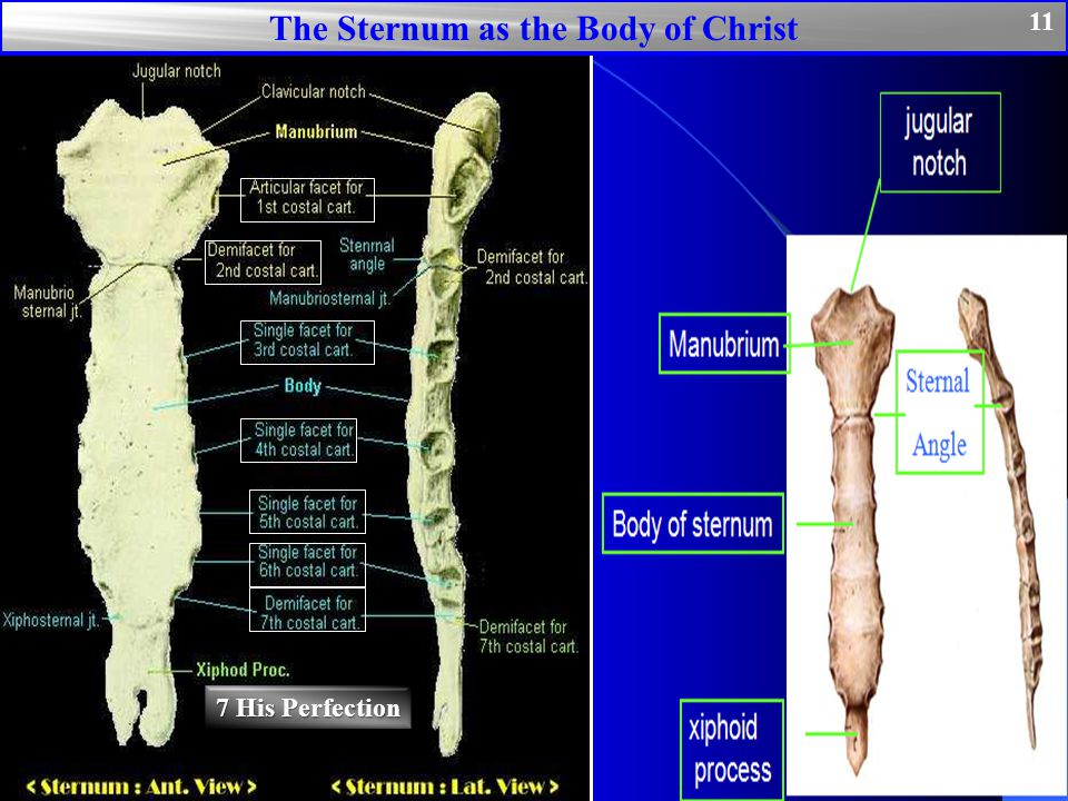 The Sternum as the Body of Christ 11 7 His Perfection