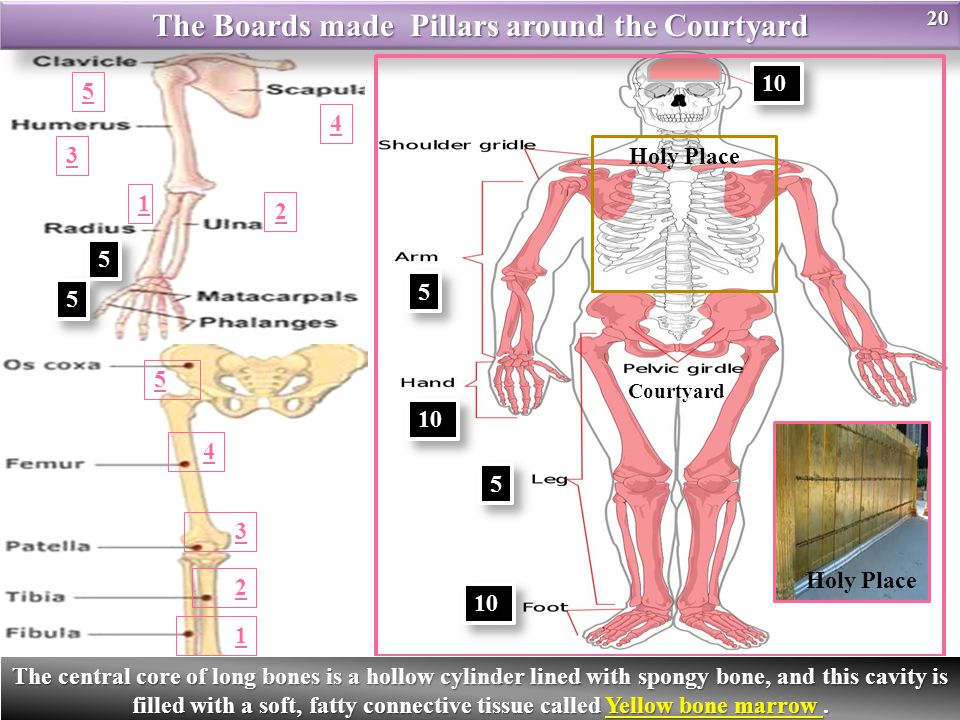 Holy Place The Boards made Pillars around the Courtyard Courtyard 10 5 5 5 5 5 5 5 5 1 3 2 4 5 1 2 3 4 5 Holy Place20 The central core of long bones is a hollow cylinder lined with spongy bone, and this cavity is filled with a soft, fatty connective tissue called Yellow bone marrow.