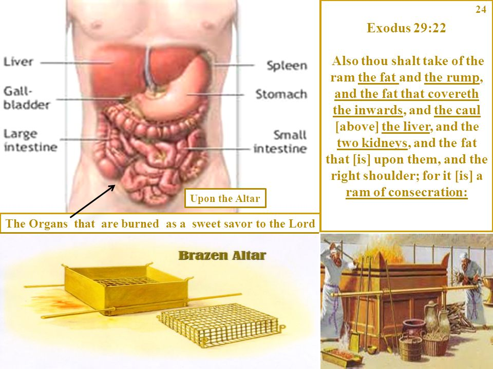 The Organs that are burned as a sweet savor to the Lord Exodus 29:22 Also thou shalt take of the ram the fat and the rump, and the fat that covereth t