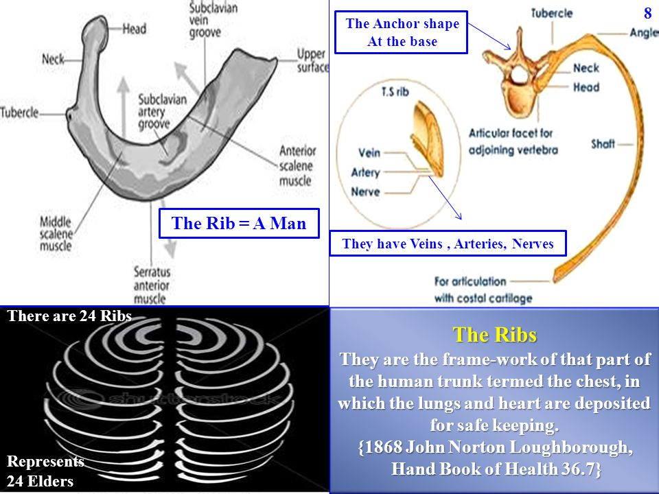 The Rib = A Man The Anchor shape At the base They have Veins, Arteries, Nerves The Ribs They are the frame-work of that part of the human trunk termed the chest, in which the lungs and heart are deposited for safe keeping.