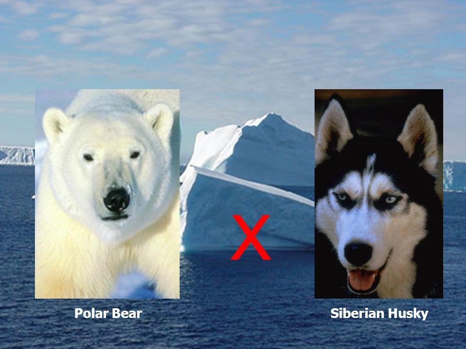 Polar BearSiberian Husky X