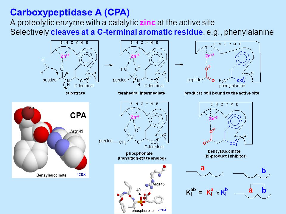 Carboxypeptidase A (CPA) A proteolytic enzyme with a catalytic zinc at the active site Selectively cleaves at a C-terminal aromatic residue, e.g., phenylalanine Zn Benzylsuccinate Arg145 CPA 1CBX 7CPA Arg145 phosphonate Zn
