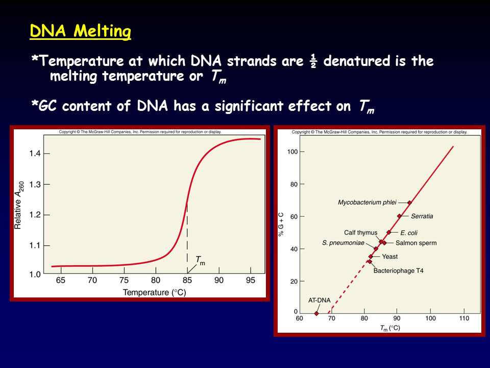DNA Melting *Temperature at which DNA strands are ½ denatured is the melting temperature or T m *GC content of DNA has a significant effect on T m