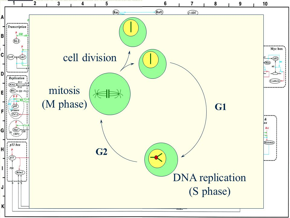 mitosis (M phase) DNA replication (S phase) cell division G1 G2