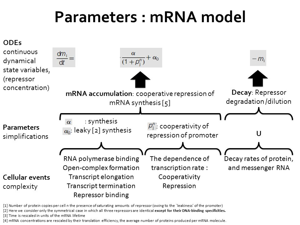 RNA polymerase binding Open-complex formation Transcript elongation Transcript termination Repressor binding The dependence of transcription rate : Cooperativity Repression Decay rates of protein, and messenger RNA : cooperativity of repression of promoter : synthesis : leaky [2] synthesis [1] Number of protein copies per cell n the presence of saturating amounts of repressor (owing to the `leakiness of the promoter) [2] Here we consider only the symmetrical case in which all three repressors are identical except for their DNA-binding specificities.