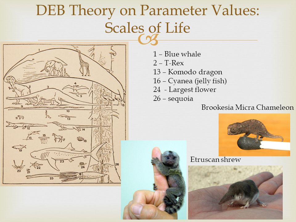  DEB Theory on Parameter Values: Scales of Life 1 – Blue whale 2 – T-Rex 13 – Komodo dragon 16 – Cyanea (jelly fish) 24 - Largest flower 26 – sequoia Etruscan shrew Brookesia Micra Chameleon