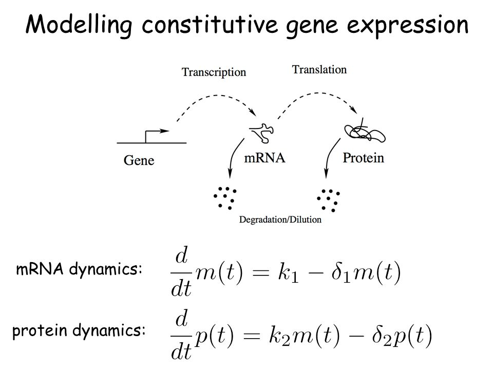 Modelling constitutive gene expression mRNA dynamics: protein dynamics: