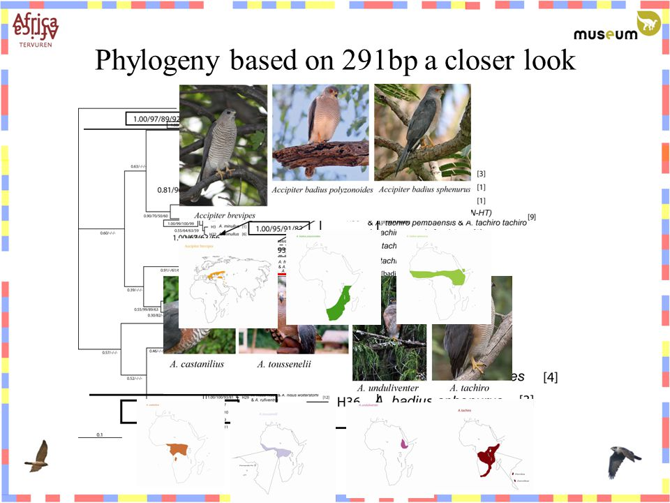 Phylogeny based on 291bp a closer look