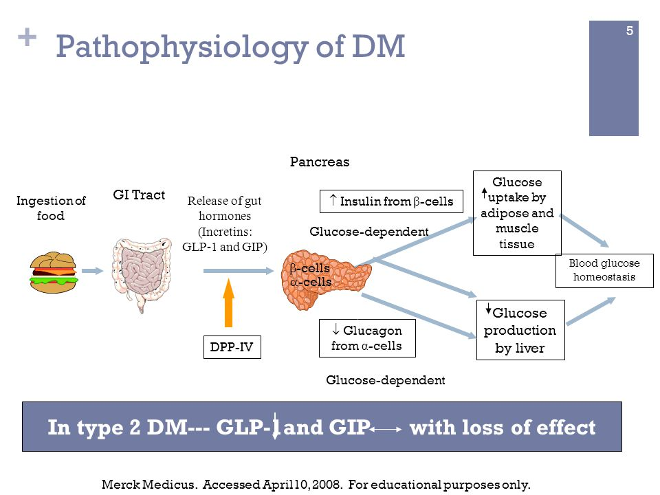 +  Insulin from β -cells Blood glucose homeostasis Ingestion of food Pancreas  -cells  -cells  Glucagon from α -cells Glucose production by liver Glucose uptake by adipose and muscle tissue Release of gut hormones (Incretins: GLP-1 and GIP) Glucose-dependent GI Tract Merck Medicus.