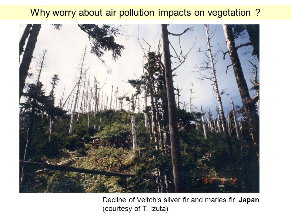 Decline of Veitch's silver fir and maries fir. Japan (courtesy of T.
