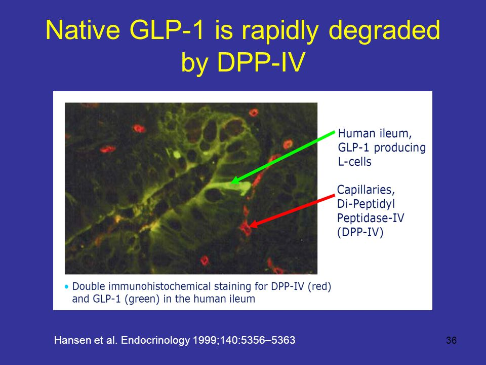 Native GLP-1 is rapidly degraded by DPP-IV Hansen et al. Endocrinology 1999;140:5356–5363 36