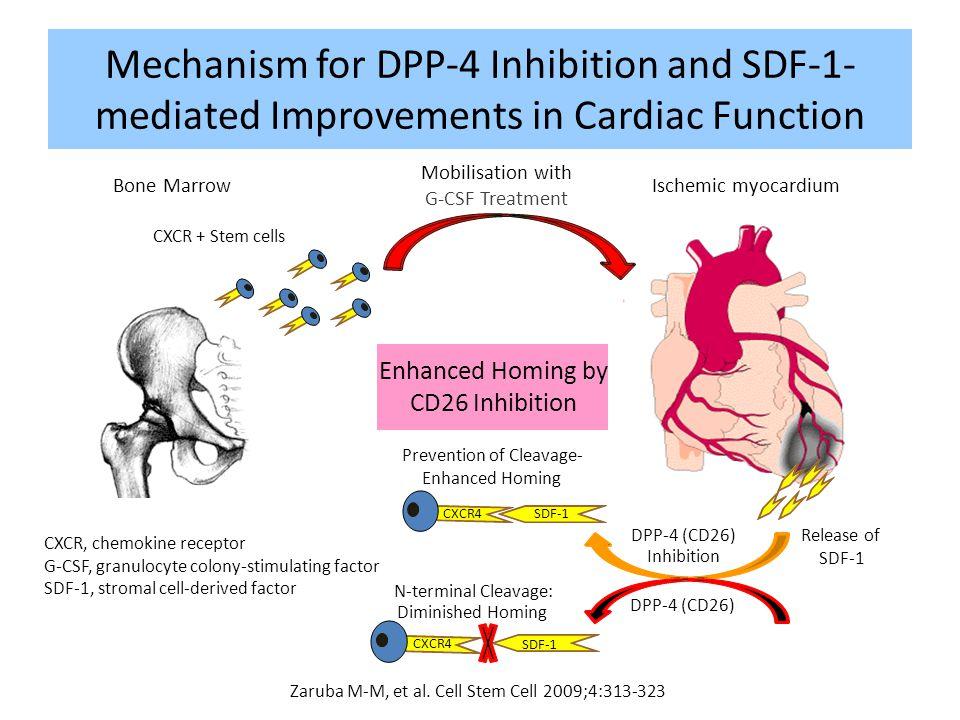 Mobilisation with G-CSF Treatment Ischemic myocardiumBone Marrow Release of SDF-1 CXCR + Stem cells SDF-1 CXCR4 DPP-4 (CD26) N-terminal Cleavage: Dimi