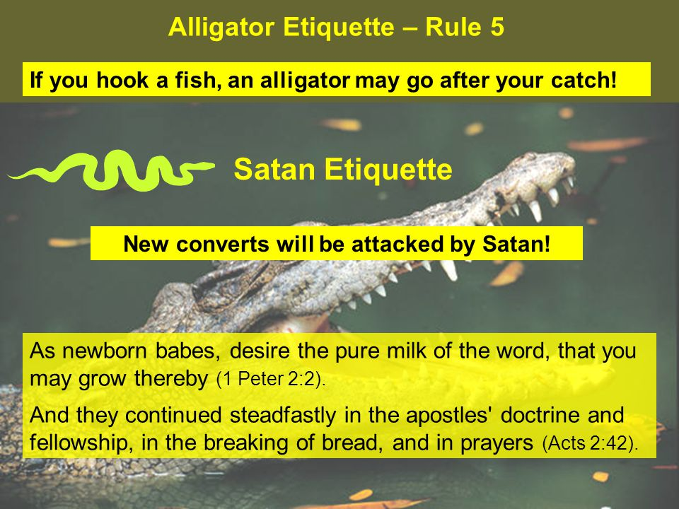 Alligator Etiquette – Rule 5 If you hook a fish, an alligator may go after your catch.