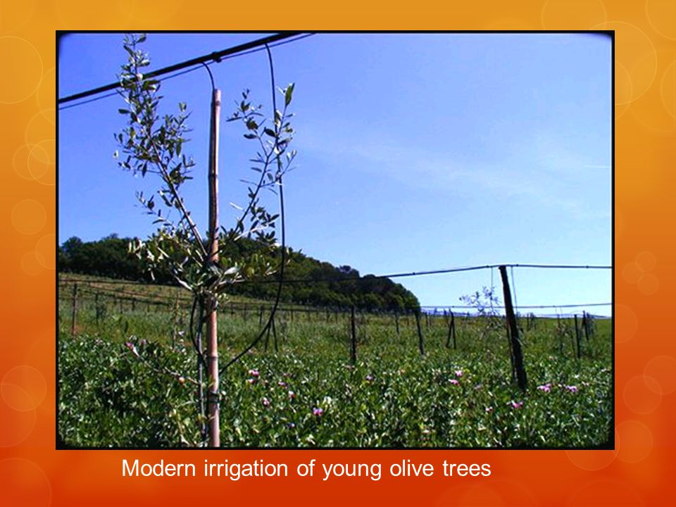 Modern irrigation of young olive trees