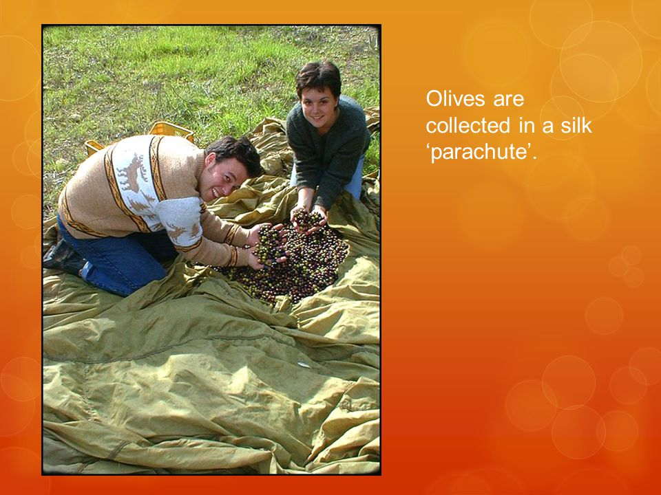 Olives are collected in a silk 'parachute'.