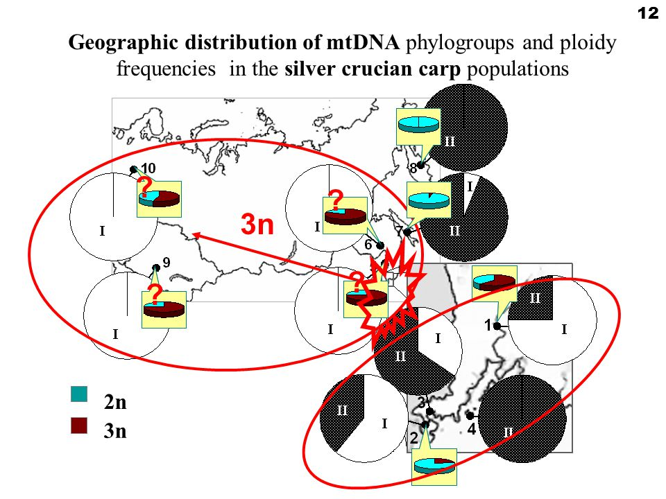 2n2n 3n Geographic distribution of mtDNA phylogroups and ploidy frequencies in the silver crucian carp populations 12 .