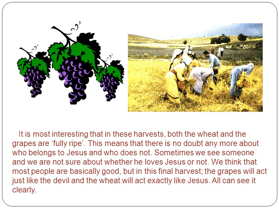 It is most interesting that in these harvests, both the wheat and the grapes are 'fully ripe'.