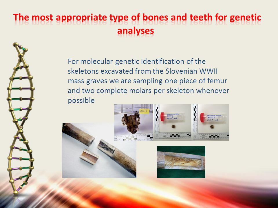For molecular genetic identification of the skeletons excavated from the Slovenian WWII mass graves we are sampling one piece of femur and two complete molars per skeleton whenever possible