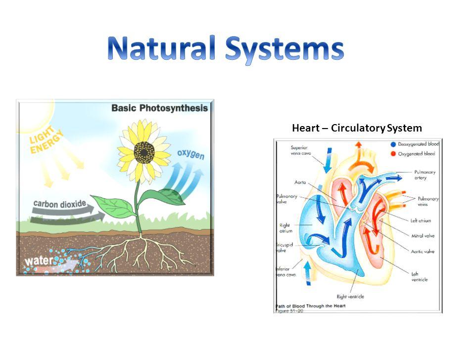 Heart – Circulatory System