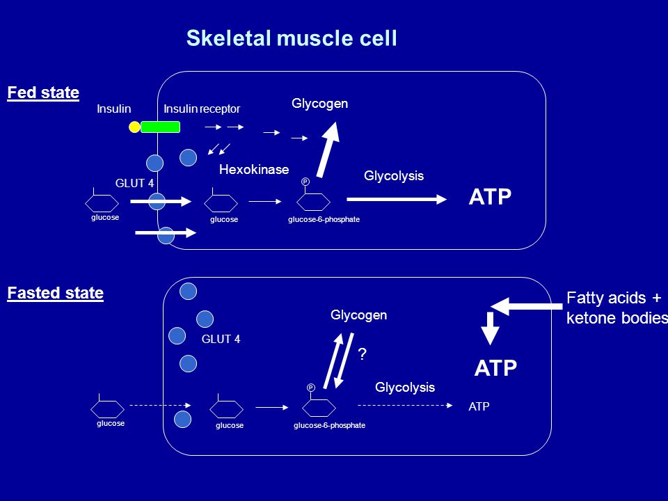 Fed state Fasted state glucose P Hexokinase glucose glucose-6-phosphate GLUT 4 glucose P glucose-6-phosphate GLUT 4 Glycogen Skeletal muscle cell Glyc