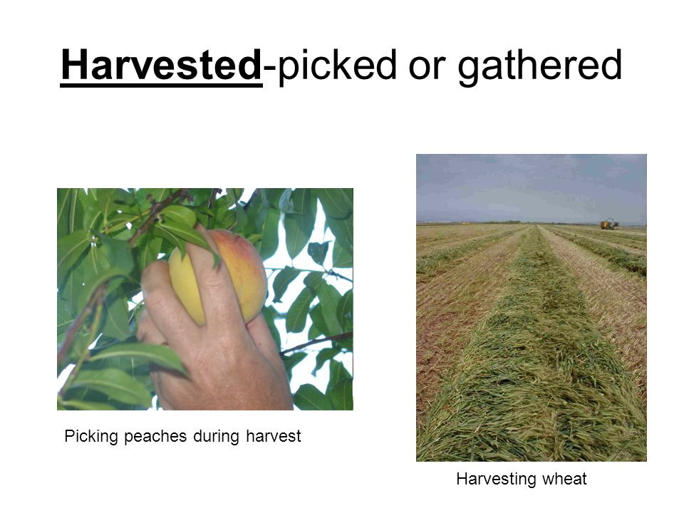 Harvested-picked or gathered Picking peaches during harvest Harvesting wheat