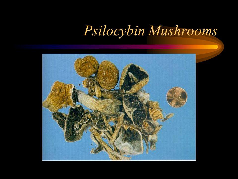 Psilocybin Mushrooms
