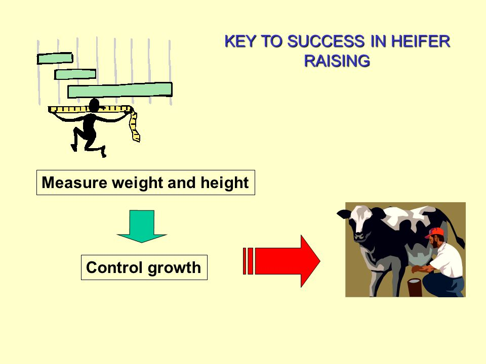 Fig 46-1. Heifer weight can be accurately estimated by measuring heart girth using a weight tape (Courtesy of Iowa State University)