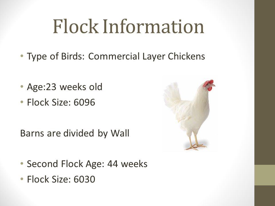 Flock Information Type of Birds: Commercial Layer Chickens Age:23 weeks old Flock Size: 6096 Barns are divided by Wall Second Flock Age: 44 weeks Flock Size: 6030