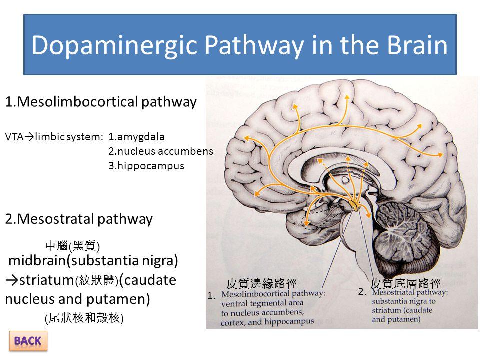 Dopaminergic Pathway in the Brain 1.Mesolimbocortical pathway 1.amygdala 2.nucleus accumbens 3.hippocampus VTA→limbic system: 2.Mesostratal pathway mi