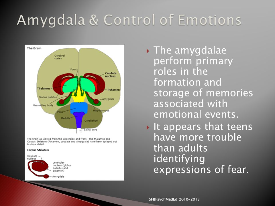  The amygdalae perform primary roles in the formation and storage of memories associated with emotional events.