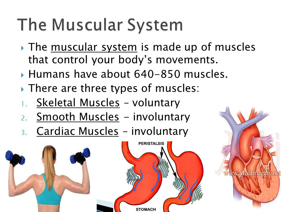  The muscular system is made up of muscles that control your body's movements.