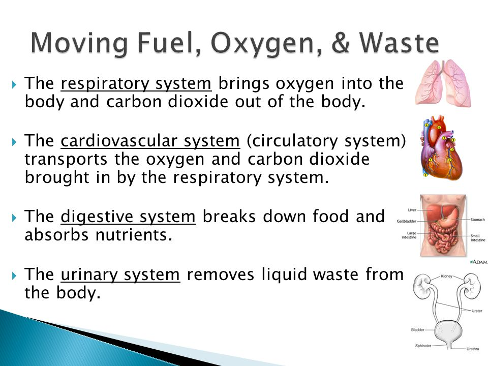  The respiratory system brings oxygen into the body and carbon dioxide out of the body.