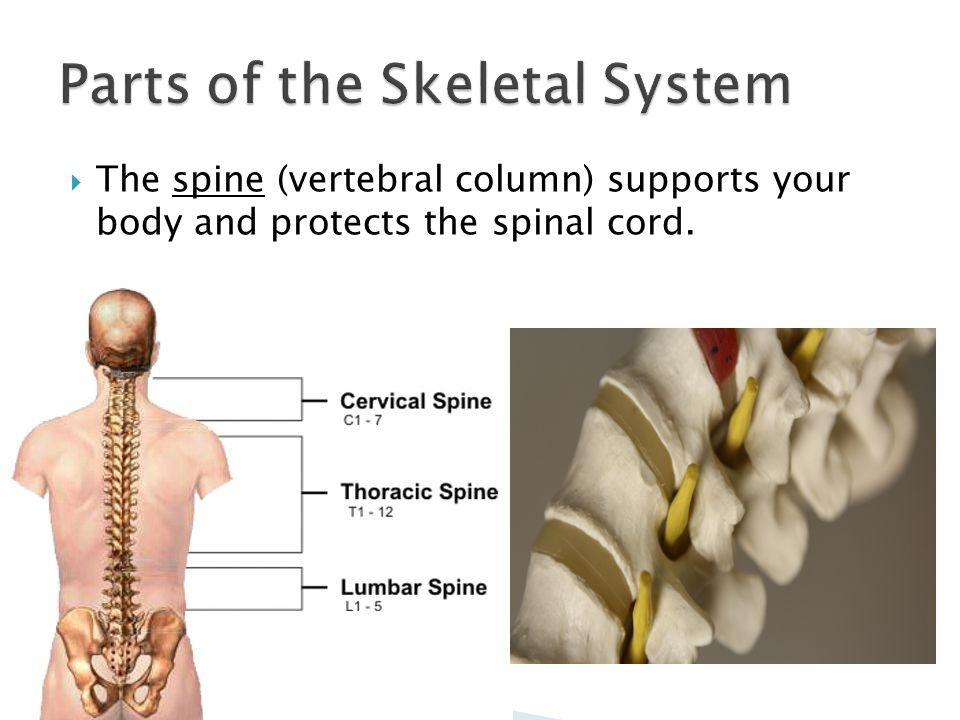  The spine (vertebral column) supports your body and protects the spinal cord.